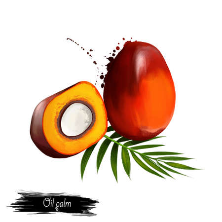 Ilustração de palma de óleo isolada no branco. Fruta tropical. Elaeis é um gênero de palmeiras, chamado de palmeiras de óleo. Utilizado na agricultura comercial na produção de óleo de palma. Arte digital. Ilustração em aquarela Foto de archivo - 83370796