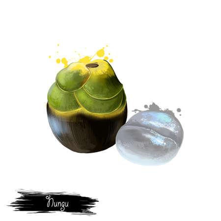 화이트 절연 Nungu 과일 그림입니다. 열대 과일. Borassus flabellifer, doubest palm, palmyra palm, 탈라 팜, toddy palm 또는 wine palm. 블랙 껍질 클러스터에서 부담. 디지