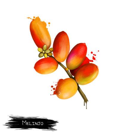 Melinjo isolated on white