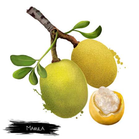 Branche de fruits de marula avec des feuilles isolées Banque d'images - 83397192