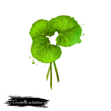 Centella asiatica pennywort or Indian Gotu kola ayurvedic herb digital art illustration with isolated. Healthy organic spa plant widely used in treatment, for preparation medicines for natural usages Banco de Imagens - 84221201