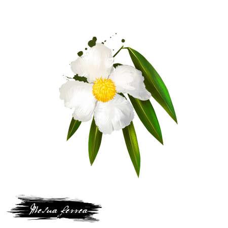 Mesua ferrea Sri Lankan ironwood, Indian rose chestnut, or cobra's saffron ayurvedic herb digital art. Healthy organic spa plant widely used in treatment, for preparation medicines for natural usages