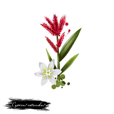 widely: Cyperus rotundus purple nutsedge ayurvedic herb digital art illustration with text isolated on white. Healthy organic spa plant widely used in treatment, for preparation medicines for natural usages
