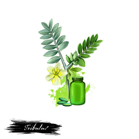 Tribulus ayurvedic herb digital art illustration with text isolated on white. Healthy organic spa plant widely used in treatment, for preparation medicines for natural usages Фото со стока