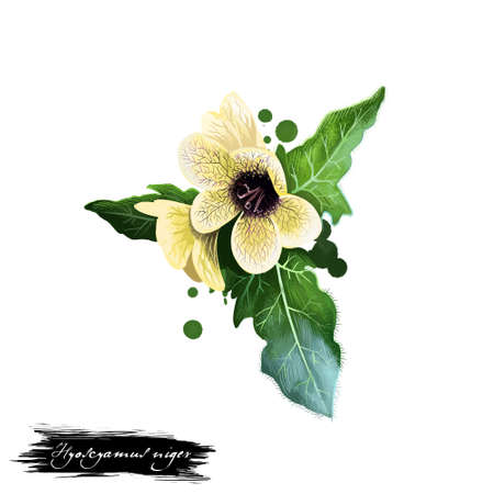 Khurasani ajwain - Hyoscyamus niger ayurvedic herb, blossom. digital art illustration with text isolated on white. Healthy organic spa plant used in treatment, preparation medicines for natural usages