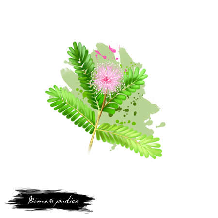 Lajalu - Mimosa pudica ayurvedic herb, blossom. digital art illustration with text isolated on white. Healthy organic spa plant widely used in treatment, for preparation medicines for natural usages Stock Photo