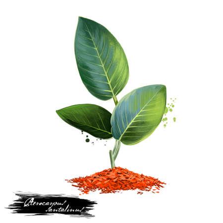 Raktachandana - Pterocarpus santalinus ayurvedic herb, tree. digital art illustration with text isolated on white. Healthy organic spa plant used in treatment, preparation medicines for natural usages Фото со стока