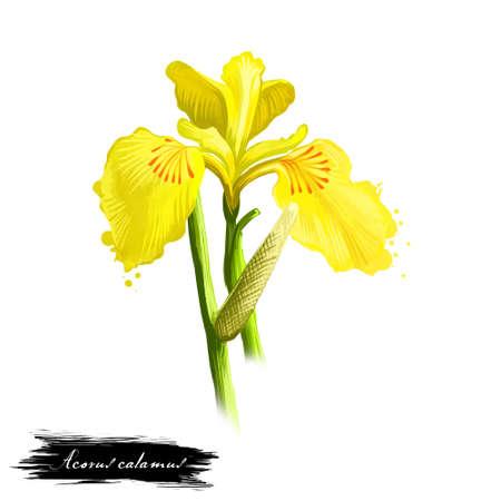 バッハ-アコラスショウブアーユルヴェーダハーブ、花。テキストが白に分離されたデジタルアートのイラスト。自然な用途のための薬の準備のため