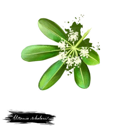 Chitvan - Alstonia scholaris ayurvedic herb, flower. digital art illustration with text isolated on white. Healthy organic spa plant widely used in treatment, preparation medicines for natural usages
