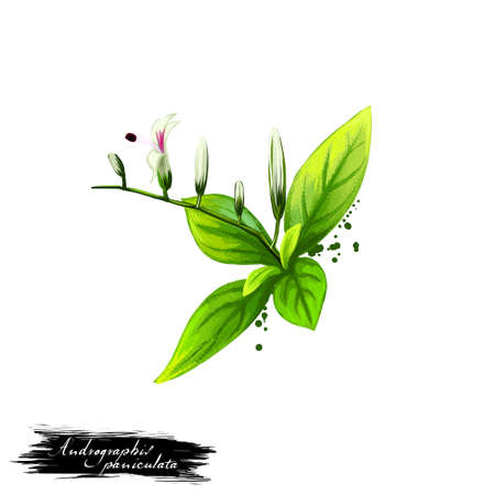 Kalmegh - Andrographis paniculata 아유 르 베다 허브, 꽃. 화이트 절연 텍스트와 디지털 아트 그림. 자연적인 사용을위한 의약품 준비를위한 치료에 사용되는