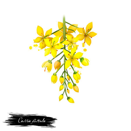 fistula: Amaltas - Cassia fistula ayurvedic herb, flower. digital art illustration with text isolated on white. Healthy organic spa plant widely used in treatment, for preparation medicines for natural usages