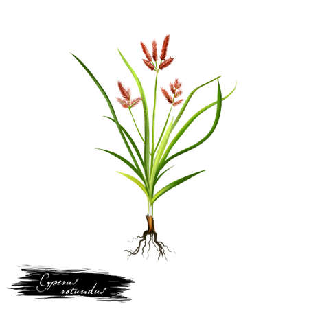 Nagarmotha - Cyperus rotundus ayurvedic herb, flower. digital art illustration with text isolated on white. Healthy organic spa plant widely used in treatment, preparation medicines for natural usages