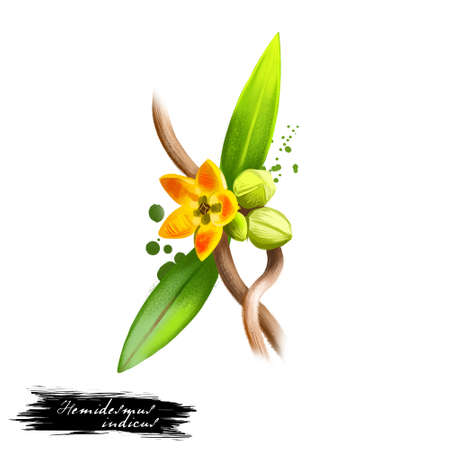 Anantamul - Hemidesmus indicus ayurvedic herb, flower. digital art illustration with text isolated on white. Healthy organic spa plant used in treatment, for preparation medicines for natural usages
