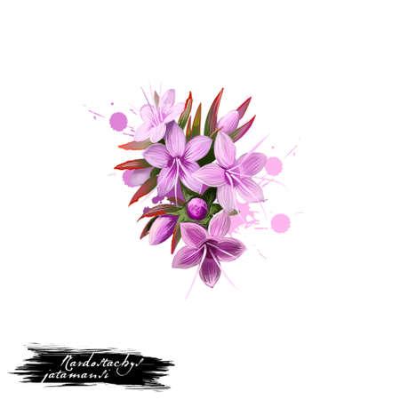 Jatamansi - Nardostachys jatamansi ayurvedic herb, flower. digital art illustration with text isolated on white. Healthy organic spa plant used in treatment, preparation medicines for natural usages