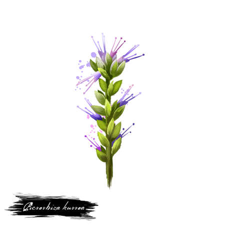 Kutki - Picrorhiza kurroa ayurvedic herb, flower. digital art illustration with text isolated on white. Healthy organic spa plant widely used in treatment, for preparation medicines for natural usages