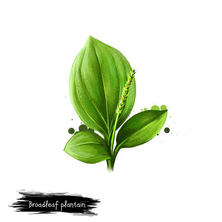 Digital art illustration of Broadleaf plantain, Plantago major isolated on white background. Organic healthy food. Green fresh vegetable. Hand drawn plant closeup. Graphic design clip art element Imagens