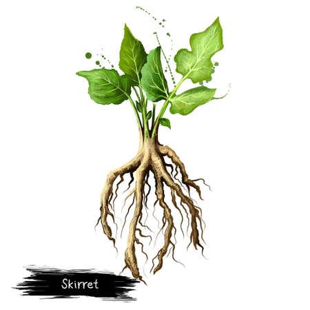 ムカゴニンジン、白い背景で隔離マークストラッセ sisarum のデジタル アート イラスト。有機健康食品。ルートと緑の新鮮な野菜。手描き植物のクロ
