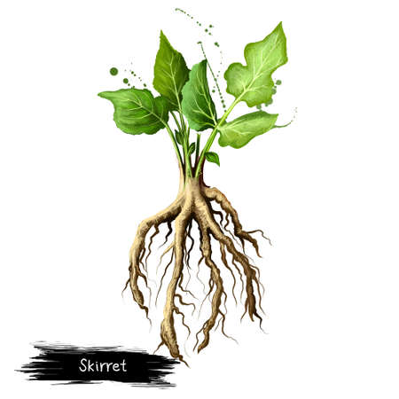 Digital art illustration of Skirret, Sium sisarum isolated on white background. Organic healthy food. Green fresh vegetable with root. Hand drawn plant closeup. Graphic design clip art element