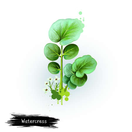 Digital art illustration of Watercress, Nasturtium officinale isolated on white background. Organic healthy food. Green fresh vegetable. Hand drawn plant closeup. Graphic design clip art element