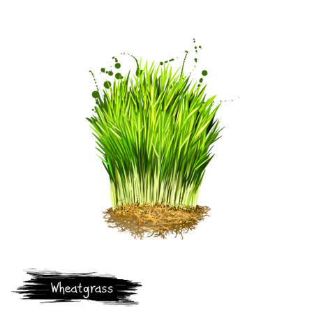 Digital art illustration of Wheatgrass, Triticum aestivum isolated on white background. Organic healthy food. Green fresh grass vegetable. Hand drawn plant closeup. Graphic design clip art element