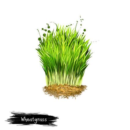 Digital art illustration of Wheatgrass, Triticum aestivum isolated on white background. Organic healthy food. Green fresh grass vegetable. Hand drawn plant closeup. Graphic design clip art element