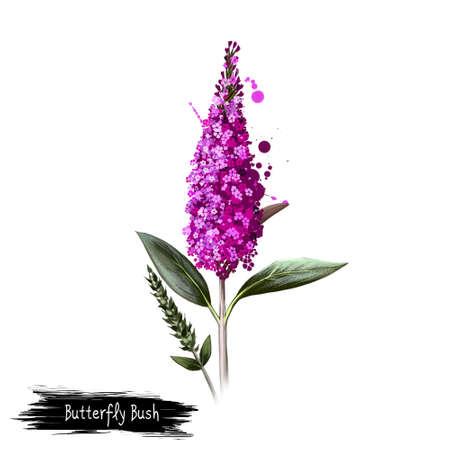 디지털 아트 나비 부시 흰색으로 격리 그림입니다. 손으로 그린 꽃 부시 Buddleja davidii입니다. 다채로운 식물 그리기입니다. 인사말 카드, 생일, 결혼 기