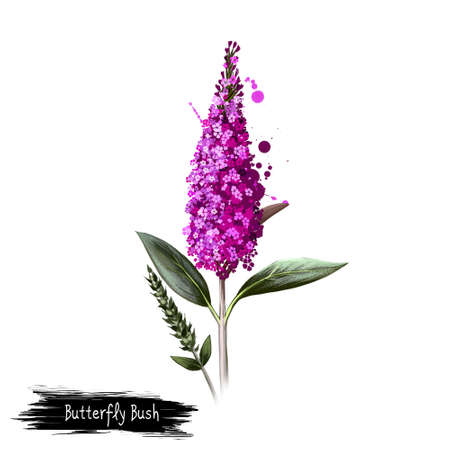 Digital art illustration of Butterfly bush isolated on white. Hand drawn flowering bush Buddleja davidii. Colorful botanical drawing. Greeting card, birthday, anniversary, wedding graphic clip art