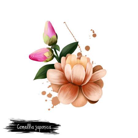 Digitale kunstillustratie van Camellia-japonica die op wit wordt geïsoleerd. Hand getrokken bloeiende struik Japanse camelia. Kleurrijke botanische tekening. Wenskaart, verjaardag, verjaardag, bruiloft grafische illustraties