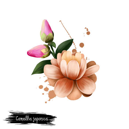 Digital art illustration of Camellia japonica isolated on white. Hand drawn flowering bush Japanese camellia. Colorful botanical drawing. Greeting card, birthday, anniversary, wedding graphic clip art Stock Photo