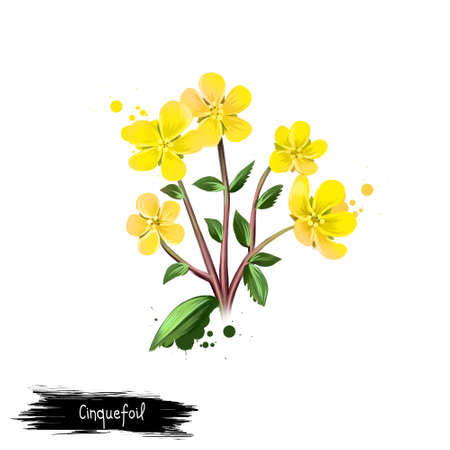 Digital art illustration of Cinquefoil isolated on white. Hand drawn flowering bush Potentilla. Colorful botanical drawing. Greeting card, birthday, anniversary, wedding. Graphic clip art design