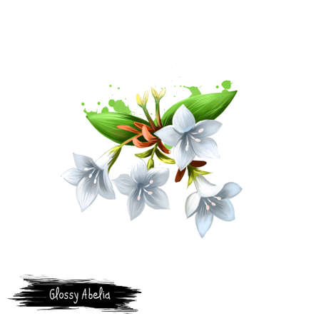 Digital art illustration of Glossy abelia isolated on white. Hand drawn flowering bush of Caprifoliaceae family. Colorful botanical drawing. Greeting card, birthday, anniversary wedding graphic design