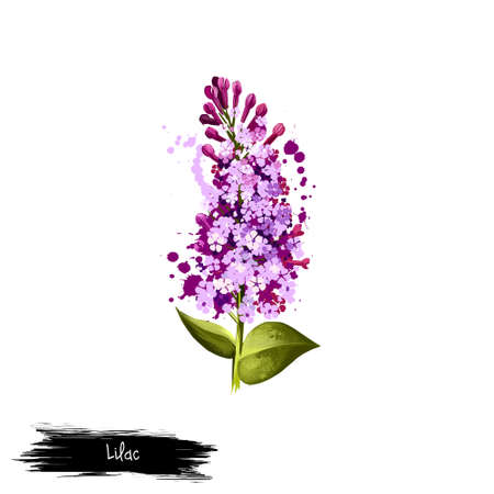 Digital art illustration of Common Lilac isolated on white. Hand drawn flowering bush Syringa vulgaris. Colorful botanical drawing. Greeting card, birthday, anniversary, wedding graphic clipart design