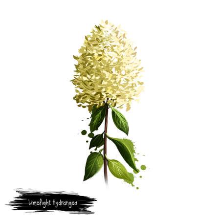화이트 절연 Limelight 수 국의 디지털 아트 그림. Hydrangeaceae 가족의 손으로 그려진 꽃 부시. 다채로운 식물 그리기입니다. 인사말 카드, 생일, 기념일, 결
