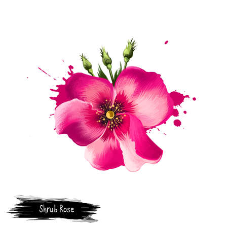 Digital art illustration of Shrub Rose isolated on white. Hand drawn flowering bush Rosa rubiginosa. Colorful botanical drawing. Greeting card, birthday, anniversary, wedding graphic clip art design 版權商用圖片