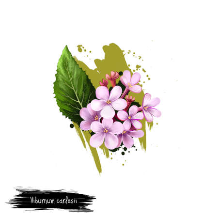 Digital art illustration of Viburnum carlesii isolated on white. Hand drawn flowering bush Arrowwood. Colorful botanical drawing. Greeting card, birthday, anniversary, wedding graphic clip art design