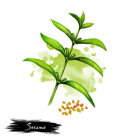 Hand drawn illustration of Sesame or Sesamum indicum isolated on white background. Organic healthy food. Digital art with paint splashes drops effect. Graphic clip art for design, web and print