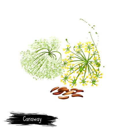 Digital art Caraway, meridian fennel or Persian cumin isolated on white background. Organic healthy food. Green vegetable. Hand drawn plant closeup. Clip art illustration. Graphic design element Zdjęcie Seryjne