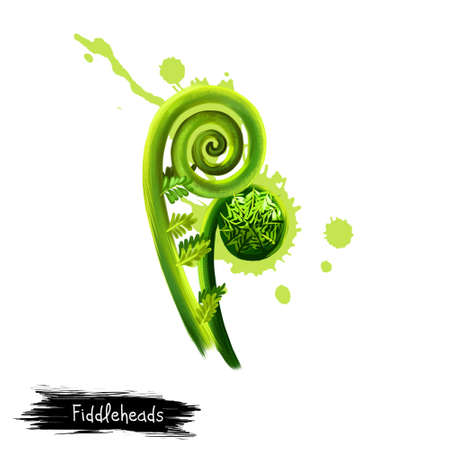 Digital art Fiddleheads, fiddlehead greens, Fiddlehead fern isolated on white background. Organic healthy food. Green vegetable. Hand drawn plant closeup. Clip art illustration. Graphic design element