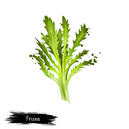Digitale kunst Frisee, Krullend endief, Chicory frisee of crispum geïsoleerd op een witte achtergrond. Organisch gezond voedsel. Groene Groente. Hand getekende plant close-up. Clipart illustratie. Grafisch ontwerpelement