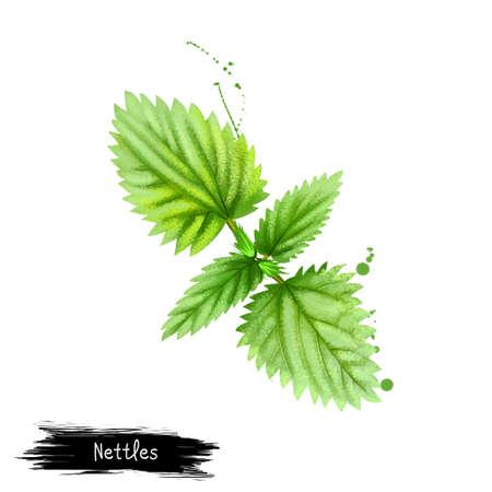 Digitale kunstnetelen, brandnetel of Urtica-dioica die op witte achtergrond wordt geïsoleerd. Biologisch gezond voedsel. Groene groente. Hand getrokken plant close-up. Clip kunst illustratie. Grafisch ontwerpelement