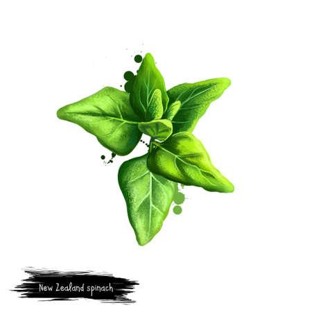 디지털 아트 뉴질랜드 시금치, Tetragonia tetragonioides 흰색 배경에 고립. 유기농 건강 식품. 녹색 야채입니다. 손으로 그린 된 공장 근접 촬영입니다. 클립