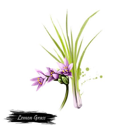 레몬 잔디, 흰색 배경에 고립 된 Cymbopogon citratus의 디지털 아트 그림. 유기농 건강 식품. 녹색 야채입니다. 손으로 그린 된 공장 근접 촬영입니다. 클립