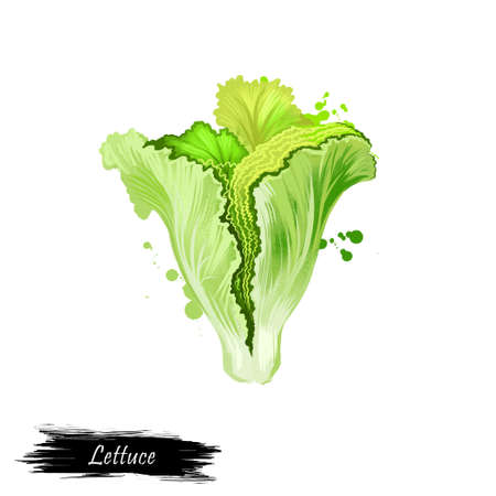 lactuca: Digital art illustration of Lettuce or Lactuca sativa isolated on white background. Organic healthy food. Green vegetable. Hand drawn plant closeup. Clip art illustration. Graphic design element