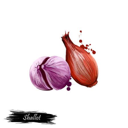 Digitale kunst Franse Sjalot ui of Allium cepa, aggregatum geïsoleerd op witte achtergrond. Biologisch gezond voedsel. Groene groente. Hand getrokken plant close-up. Clip kunst illustratie. Grafisch ontwerpelement Stockfoto