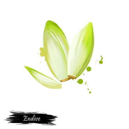 Digitale kunst Endive, Cichorium, Cichorium Endivia, Salade Chicory geïsoleerd op een witte achtergrond. Organisch gezond voedsel. Groene Groente. Hand getekende plant close-up. Clipart illustratie. Grafisch ontwerp