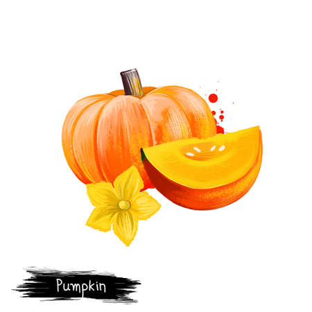 Digital illustration of hand drawn Pumpkin, Cucurbita pepo isolated on white background. Organic healthy food. Yellow vegetable. Hand drawn plant closeup. Clip art illustration. Graphic design element
