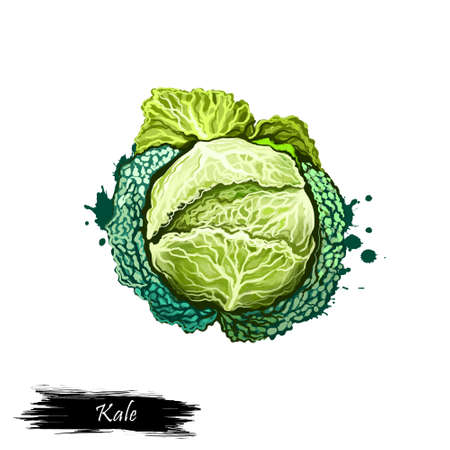Digital art Kale or leaf cabbage, Brassica oleracea drawing isolated on white background. Organic healthy food. Green vegetable. Hand drawn plant closeup. Clip art illustration. Graphic design element