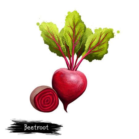 手のデジタル イラストには、ビート、白い背景で隔離のベータ版尋常性が描かれています。有機健康食品。赤の野菜。手描き植物のクローズ アップ