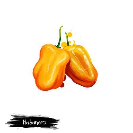Digital illustration of Habanero, Capsicum chinense pepper isolated on white background. Organic healthy food. Yellow vegetable. Hand drawn plant closeup. Clip art illustration. Graphic design element