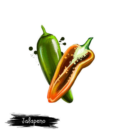 Digital illustration of hand drawn Jalapeno chili pepper isolated on white background. Organic healthy food. Green vegetable. Hand drawn plant closeup. Clip art illustration. Graphic design element